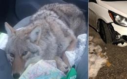 Tông phải một con chó trên đường, ông chú định mang về nuôi nhưng sau đó mới tá hỏa phát hiện nó là... sói