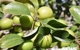 Ảnh: Vườn 'táo muối' hốt bạc trăm triệu của người dân Hải Phòng