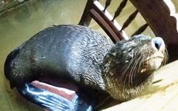 Hải cẩu xứ lạnh bỗng xuất hiện tại vùng biển TT-Huế?
