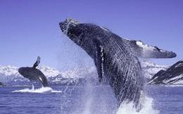 Giải mã tiếng hát bí ẩn của cá voi lưng gù từng khiến các nhà khoa học đau đầu
