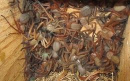 Đàn nhện thợ săn hung hăng 'cướp đất', chen chúc sống trong tổ mới