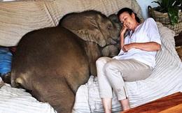 """Sau khi được cứu sống, chú voi không ngừng """"rình rập"""" vị ân nhân của mình bất kể ngày đêm"""