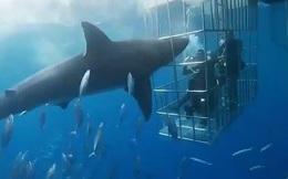 Clip: Cá mập trắng lao đầu vào lồng sắt tấn công người và cái kết bi thảm