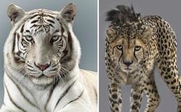 Nhiếp ảnh gia có 'siêu năng lực': Bắt cả bầy hổ báo ngoan ngoãn tạo dáng để chụp ảnh, mắt nhìn thẳng ống kinh, thần thái cực đỉnh
