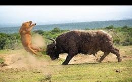Trâu rừng hóa 'người hùng' khi cứu voi con khỏi nanh vuốt sư tử
