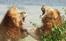 Trận hỗn chiến của bầy sư tử trong vườn thú