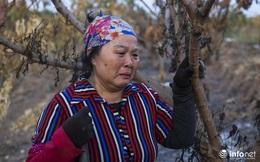 """Hưng Yên: Người dân Khoái Châu """"khóc ròng"""" khi vườn cây ăn quả bị kẻ gian đốt trộm"""