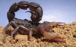 1001 thắc mắc: Bọ cạp ăn gì, vì sao nọc của chúng lại cực độc?