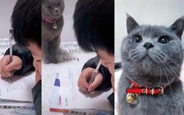"""""""Boss"""" mèo nổi tiếng Internet vì thường xuyên giám sát cậu chủ nhỏ làm bài tập, không tập trung là bị lườm cháy mặt"""