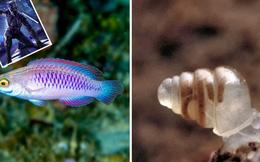 Cá Wakanda, ốc sên trong suốt là 2 trong số những loài động vật kỳ lạ nhất được phát hiện trong thập kỷ qua, khiến bạn không tin nổi vào mắt mình