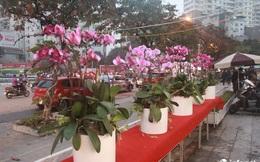 Lan Hồ Điệp vượt hơn 1.000km từ Đà Lạt, đã ra tới Hà Nội phục vụ người chơi Tết
