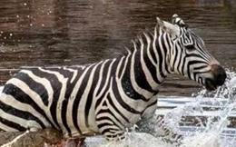 Ngựa vằn bỏ chạy tới gục chết khi bị cá sấu xé toạc
