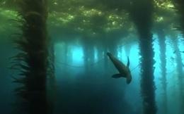 Video: Chú hải cẩu bơi qua khu rừng bí mật dưới nước đẹp ngỡ ngàng