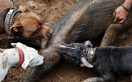Đàn pitbull tử chiến lợn rừng