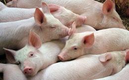 Lợn hơi đột ngột giảm giá từ chuồng trại đến công ty lớn