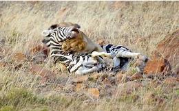 """Sư tử cái """"lật mặt"""" đánh đuổi hai con đực sau khi hiệp lực hạ gục ngựa vằn"""