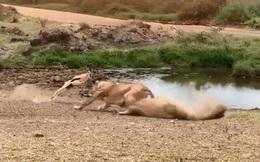 Video: Linh dương khôn khéo cho sư tử 'ăn quả lừa'