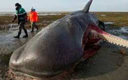 1001 thắc mắc: Tại sao xác cá voi lại phát nổ như bom?