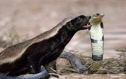 Loài vật nhỏ bé khiến trăn khổng lồ khiếp sợ
