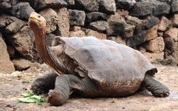 """Cụ rùa 100 tuổi này """"sex"""" nhiều đến mức cứu cả loài khỏi tuyệt chủng"""