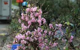 """Dân buôn """"nhấp nhổm"""" sợ mất Tết vì đào cảnh nở gần hết hoa, dài cổ chờ khách"""