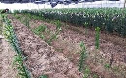 Ra thăm vườn hoa ly 1.400 cây bán Tết, 2 nông dân sững sỡ khi trộm nhổ sạch cả vườn