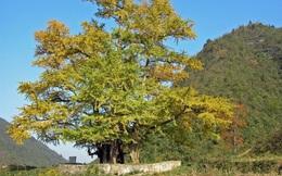 Bí ẩn loài cây sống cả nghìn năm tuổi
