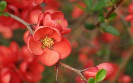 Rộ mốt chơi hoa nhập khẩu Tết 2020, 700.000 đồng/cành đào đỏ Nhật Bản vẫn đắt khách