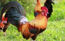 Lương y tiết lộ: Cách dùng thịt gà làm thuốc bổ phổi, dạ dày, chữa yếu thận cực đơn giản