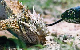 Video: Thằn lằn quỷ gai dùng tuyệt chiêu 'khó đỡ' đánh lừa rắn độc