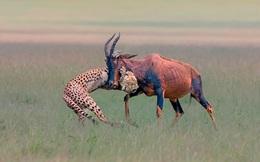 24h qua ảnh: Báo đốm đói ngoạm cổ linh dương khổng lồ