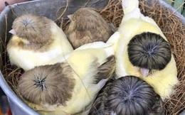 Loài chim độc lạ, có mái tóc bát úp cực ngố gây thương nhớ