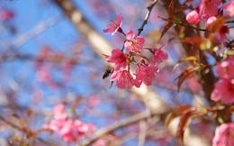 Ảnh: Hoa đào bừng sáng trời đông Mù Cang Chải