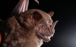 """Được mệnh danh là """"bể chứa virus"""", sinh vật bị nghi lan truyền virus corona có sự tiến hóa đáng sợ nào?"""