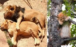 'Hết Tết rồi! Dậy đi làm thôi!': Loạt ảnh động vật ngủ nướng cute hết mức khiến ai cũng phải phì cười vì như nhìn thấy chính mình