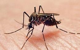 Muỗi 'voi' tăng đột biến và nguy cơ lây lan dịch bệnh không thuốc chữa