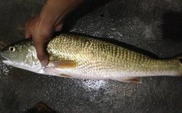 Ngư dân Nam Ô nghi bắt được cá sủ vàng quý hiếm