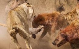 Video: Sư tử đực bị đàn linh cẩu 20 con cắn xé tơi tả