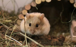 1001 thắc mắc:Vì sao nhà khoa học thường dùng chuột làm thí nghiệm?