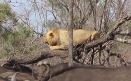 Video: Chúa tể sơn lâm tê liệt trước đàn trâu rừng hung hãn