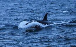 Google dùng trí tuệ nhân tạo bảo vệ cá voi trước nguy cơ tuyệt chủng