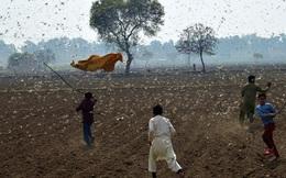 Trung Quốc có thể đối mặt khủng hoảng an ninh lương thực vì nạn châu chấu