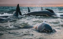 Giải mã: Cá voi mắc cạn hàng loạt và bí ẩn phía sau những cái chết này là gì?
