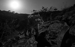 Vẻ đẹp siêu thực của loài báo đen bí ẩn nhất châu Phi