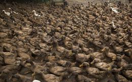"""Đại chiến 400 tỷ con châu chấu ở biên giới TQ: Nhược điểm khiến 100.000 con vịt không được """"ra trận"""""""