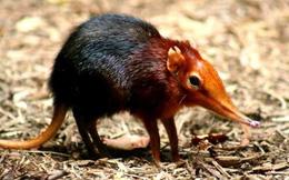 1001 thắc mắc: Vì sao nói Chuột chù nước là loài ăn thịt rất tinh vi?