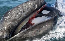 Cá voi sát thủ tấn công cá voi xám, kẻ nào mới là vua biển cả?