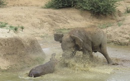 7 ngày qua ảnh: Hà mã quyết chiến với voi rừng để bảo vệ con