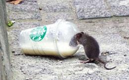 Chuột ở các thành phố lớn đã đột biến gen để thích nghi với cuộc sống đô thị