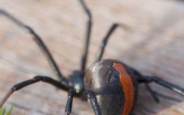 """Giải mã bí ẩn: """"Bí kíp"""" giúp nhện lưng đỏ hạ sát rắn độc thứ 2 thế giới lớn hơn mình gấp 10 lần"""